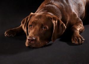 Tier - Portrait mit Hund liegend