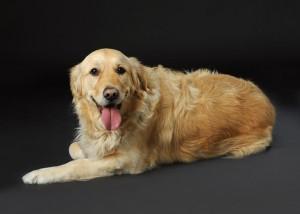 Tier - Portrait Hund liegend vor schwarzem Hintergrund